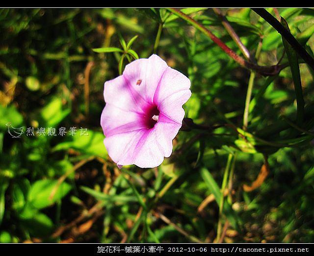 旋花科-槭葉小牽牛_10