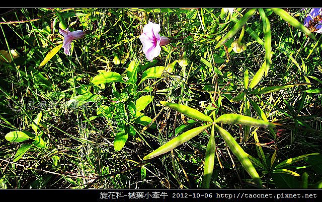 旋花科-槭葉小牽牛_09