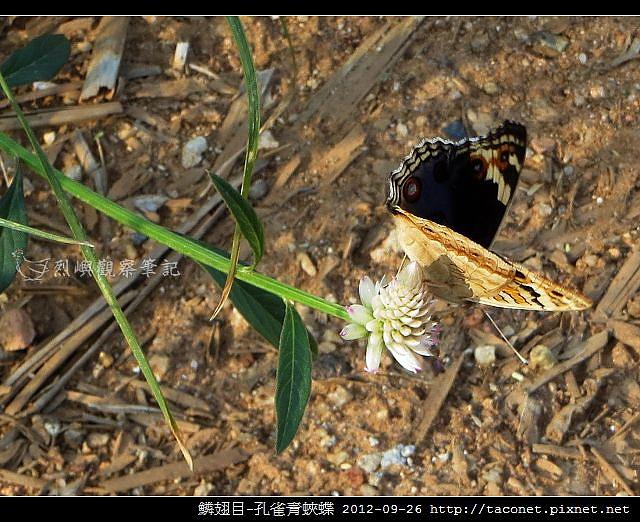 鱗翅目-孔雀青蛺蝶_05