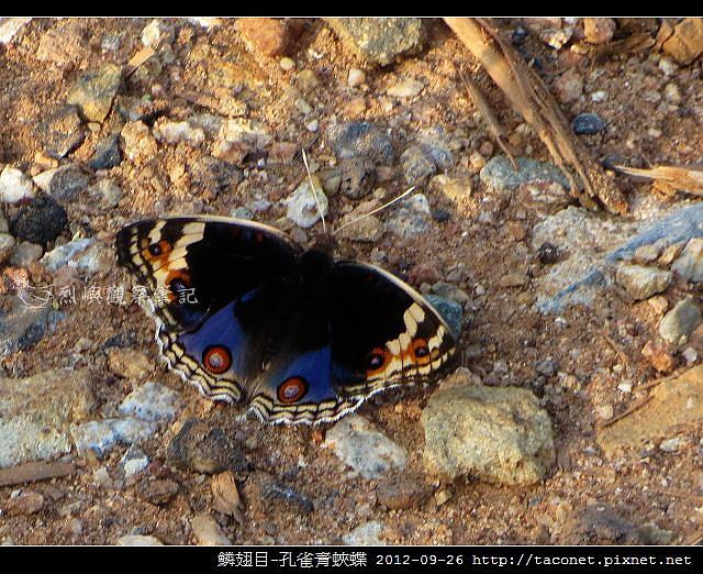 鱗翅目-孔雀青蛺蝶_07