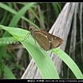 鱗翅目-禾弄蝶_04