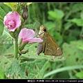 鱗翅目-禾弄蝶_06
