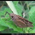 鱗翅目-禾弄蝶_05