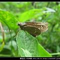 鱗翅目-禾弄蝶_07