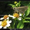 鱗翅目-禾弄蝶_10