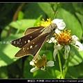 鱗翅目-禾弄蝶_09