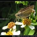 鱗翅目-禾弄蝶_11