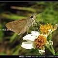鱗翅目-禾弄蝶_12