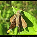 鱗翅目-禾弄蝶_13