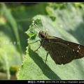 鱗翅目-禾弄蝶_15
