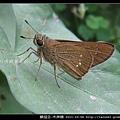 鱗翅目-禾弄蝶_16