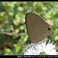 鱗翅目-雅波灰蝶_05