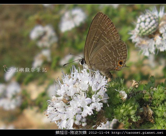 鱗翅目-雅波灰蝶_09