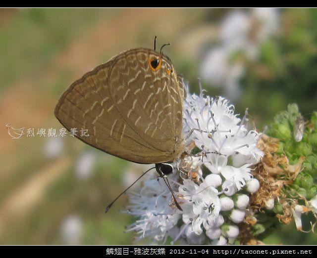 鱗翅目-雅波灰蝶_12