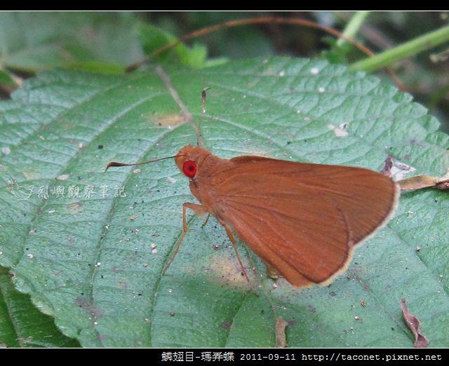 鱗翅目-瑪弄蝶_02