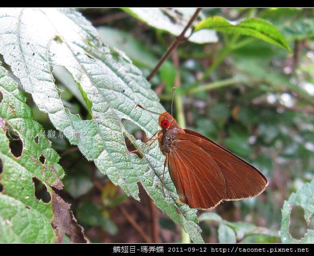 鱗翅目-瑪弄蝶_05