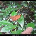鱗翅目-瑪弄蝶_04