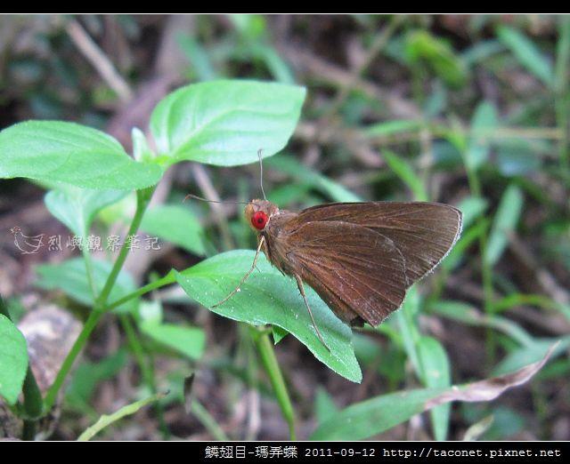 鱗翅目-瑪弄蝶_07