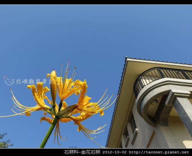 石蒜科-金花石蒜_05