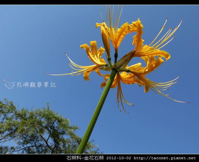 石蒜科-金花石蒜_06