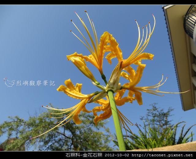 石蒜科-金花石蒜_07