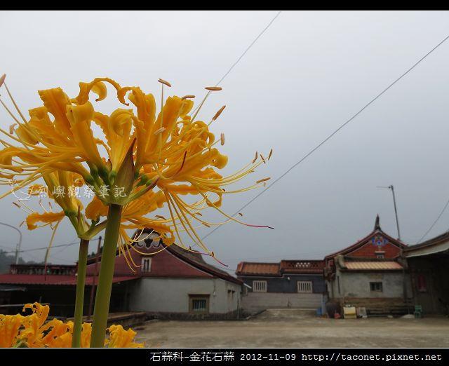 石蒜科-金花石蒜_10