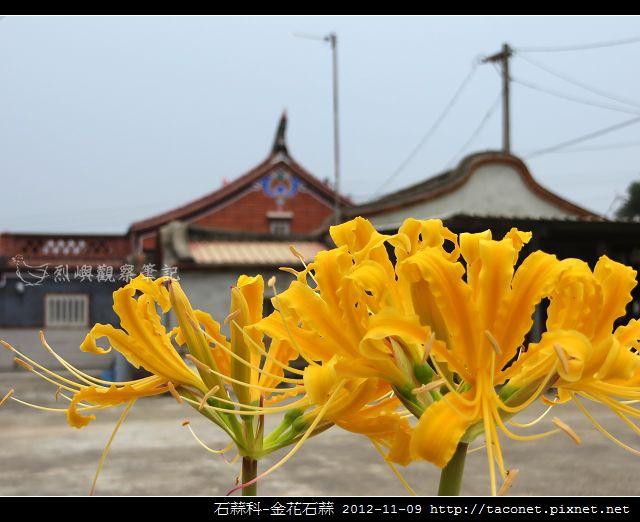 石蒜科-金花石蒜_12