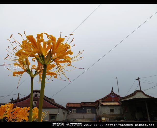 石蒜科-金花石蒜_11