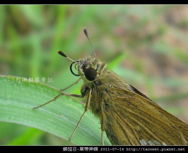鱗翅目-單帶弄蝶_02