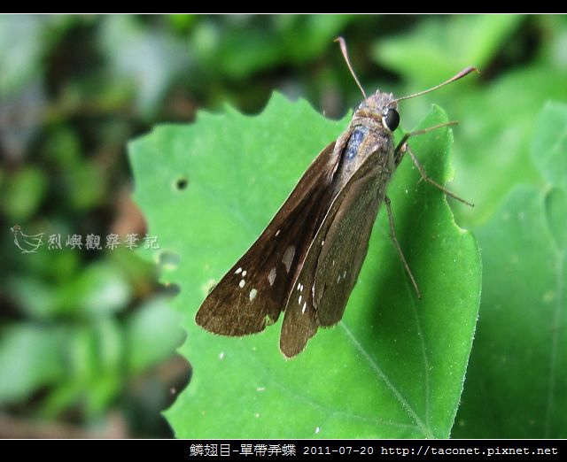 鱗翅目-單帶弄蝶_04