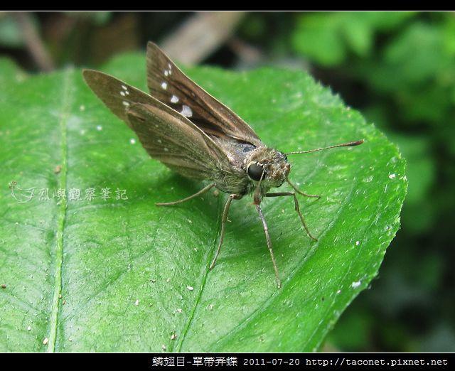 鱗翅目-單帶弄蝶_05