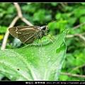 鱗翅目-單帶弄蝶_06