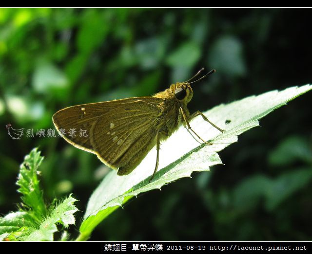 鱗翅目-單帶弄蝶_07
