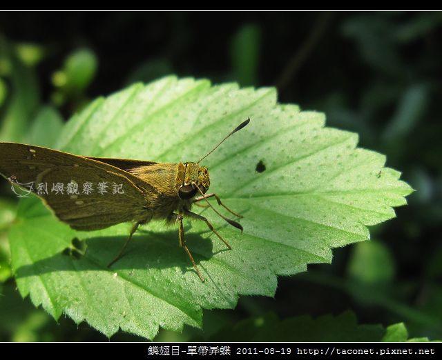 鱗翅目-單帶弄蝶_08