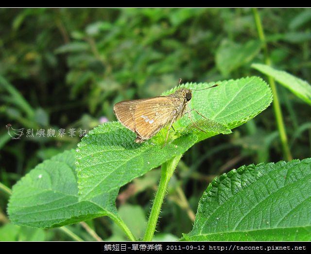 鱗翅目-單帶弄蝶_10