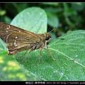 鱗翅目-單帶弄蝶_09