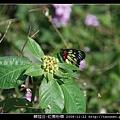 鱗翅目-紅肩粉蝶_02