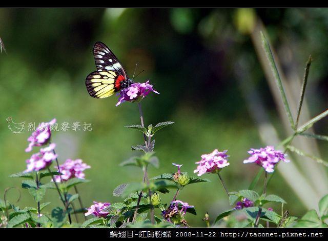 鱗翅目-紅肩粉蝶_01