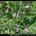 鱗翅目-紅肩粉蝶_03