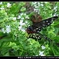 鱗翅目-紅肩粉蝶_04