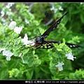 鱗翅目-紅肩粉蝶_05