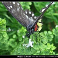 鱗翅目-紅肩粉蝶_07