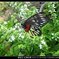 鱗翅目-紅肩粉蝶_06