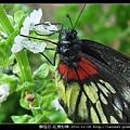 鱗翅目-紅肩粉蝶_09