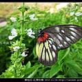 鱗翅目-紅肩粉蝶_08