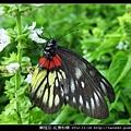 鱗翅目-紅肩粉蝶_10
