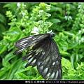 鱗翅目-紅肩粉蝶_11