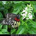 鱗翅目-紅肩粉蝶_12