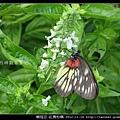 鱗翅目-紅肩粉蝶_13