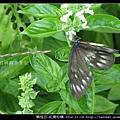鱗翅目-紅肩粉蝶_14